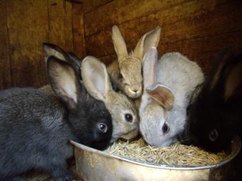 Кролики кормление - витамины