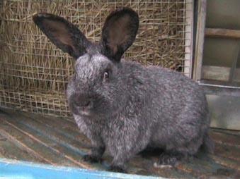 Кролик Вуалево-серебристый